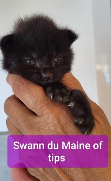Swann du Maine of Tips