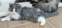 Rubeus - Selkirk Rex poil court et poil long