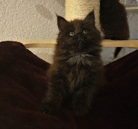 Maine Of Peyriere - Chaton disponible  - Maine Coon