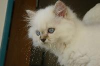 Paco - British Shorthair et Longhair