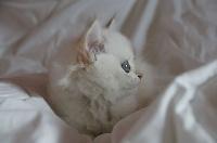 Phûket - British Shorthair et Longhair