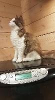 QUINOU - Selkirk Rex poil court et poil long