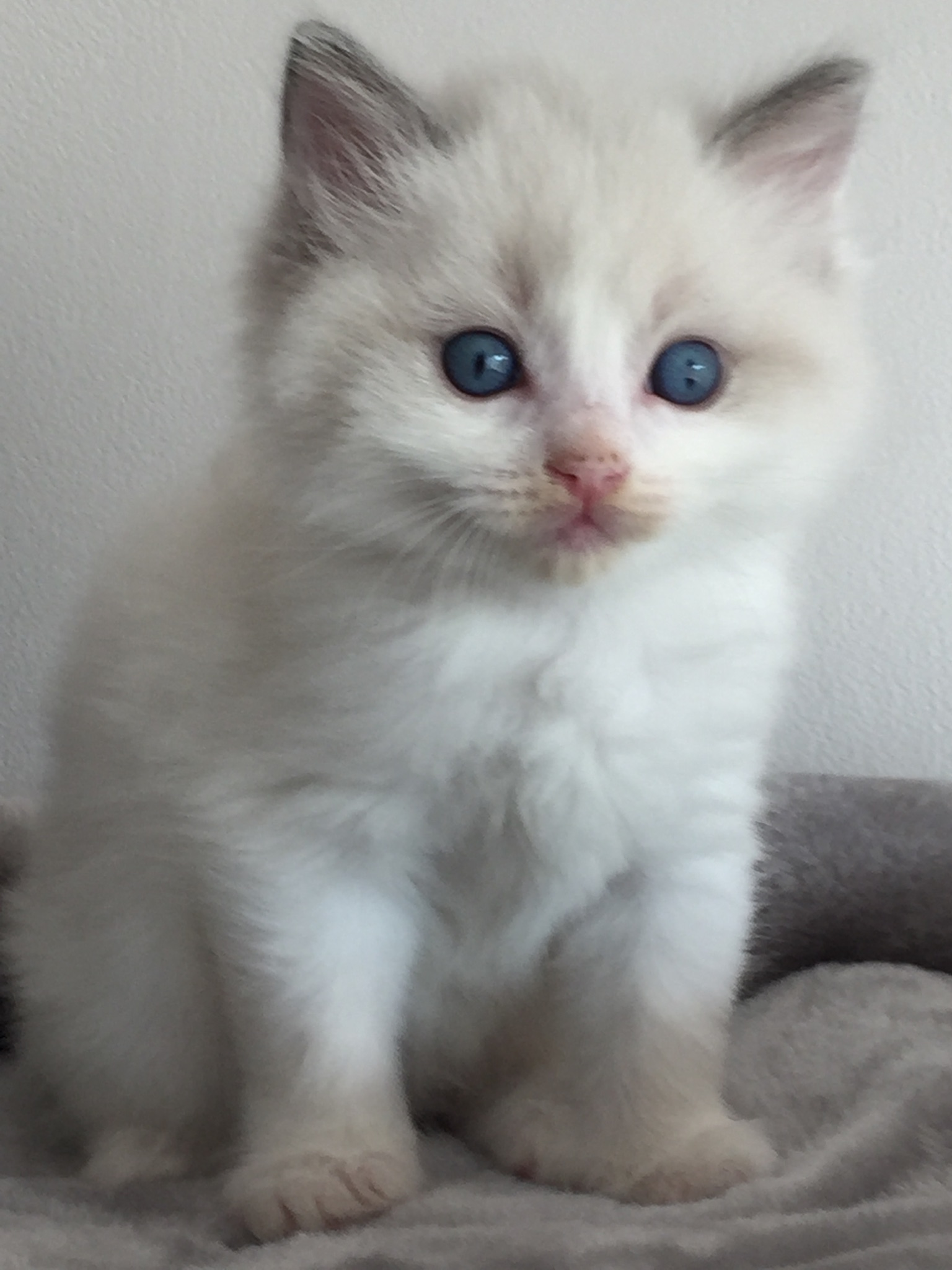 Chaton Ragdoll bleu point et blanc (Bicolore) -
