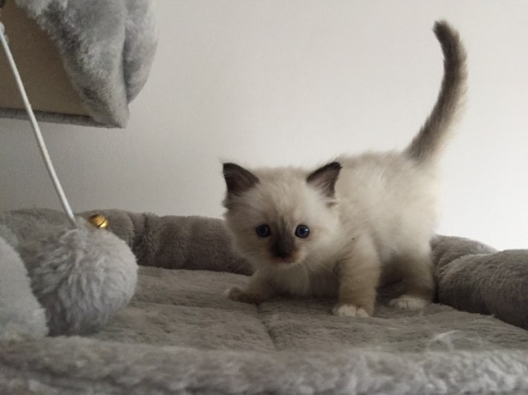 seal point mitted