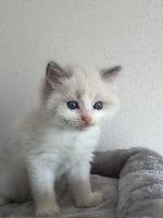 Chaton Ragdoll bleu point et blanc (Bicolore) - Ragdoll