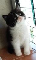 CHATON - British Shorthair et Longhair