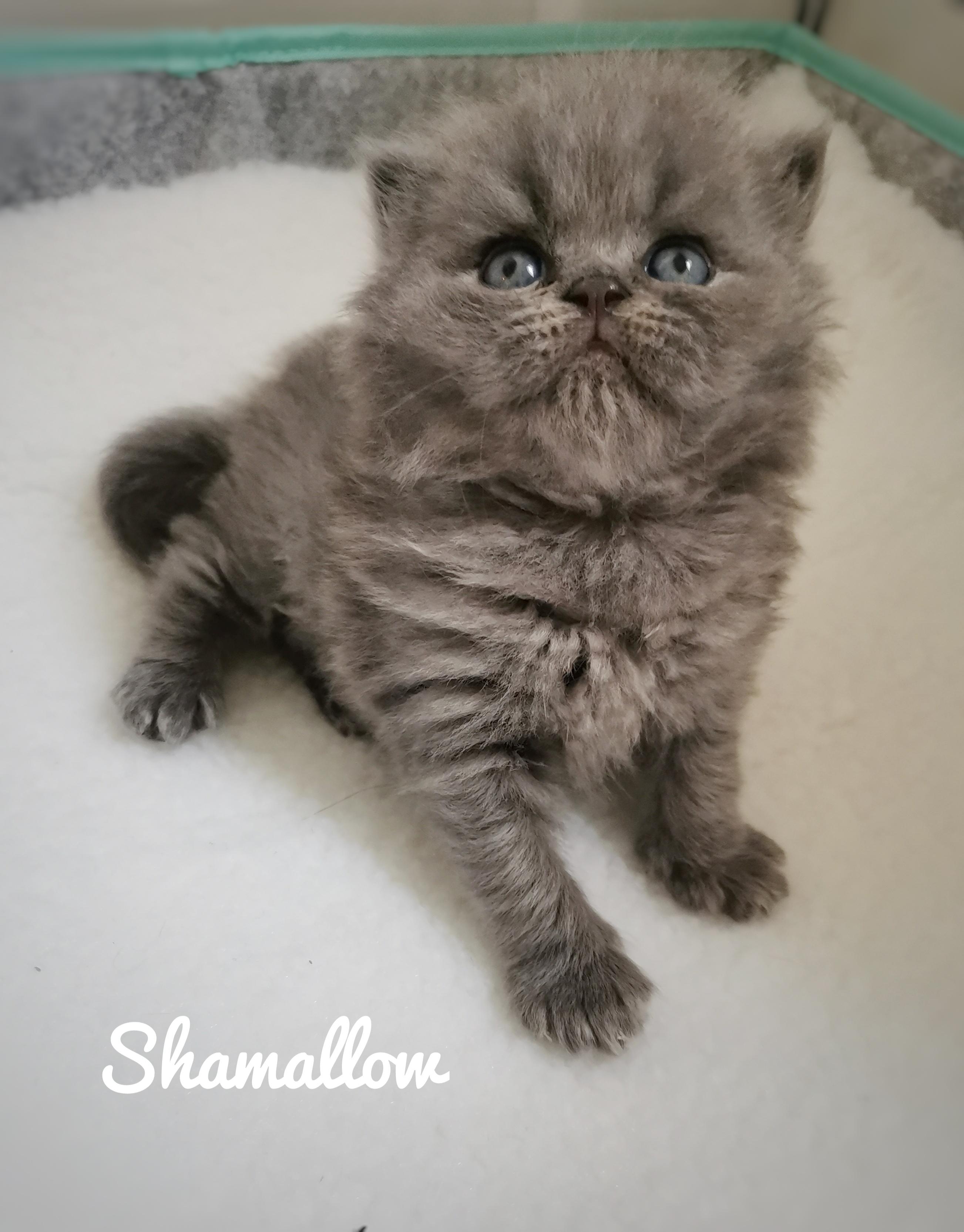SHAMALLOW -