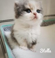 STELLA - British Shorthair et Longhair