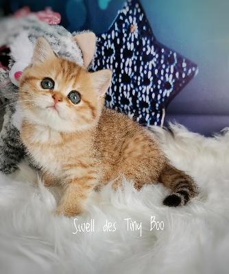Sherry (Swell) des Tiny Boo  - British Shorthair et Longhair