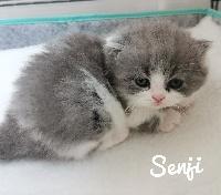 SENJI - British Shorthair et Longhair