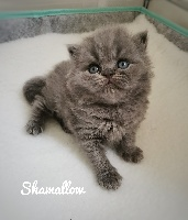 SHAMALLOW - British Shorthair et Longhair