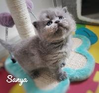 SANYA - British Shorthair et Longhair