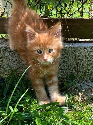 Mâle red blotched tabby - Maine Coon