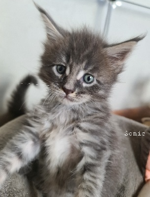 SONIC - Maine Coon