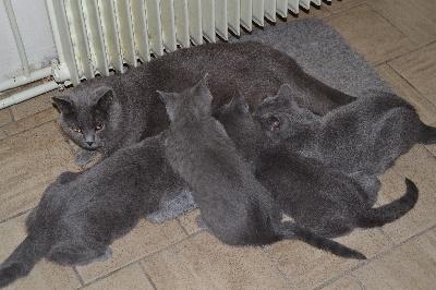 du Domaine d'Ofelie - chatons chartreux disponibles