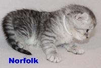 NORFOLK - American Curl PC et PL