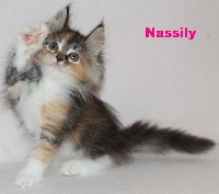 NASSILY - Maine Coon