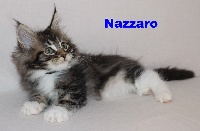 Nazzarro - Maine Coon
