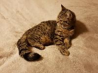 Ossian des NOURSONS - British Shorthair et Longhair