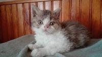 Pussy Cat - Selkirk Rex poil court et poil long