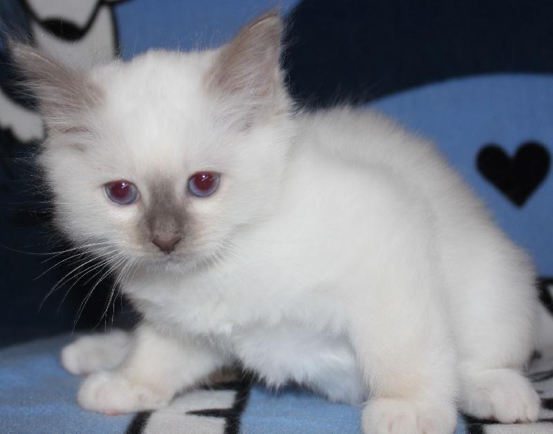 chaton Sacré de Birmanie du Normont