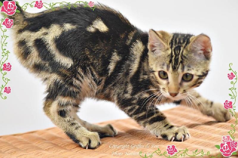 chaton Bengal des Griffes De Feu