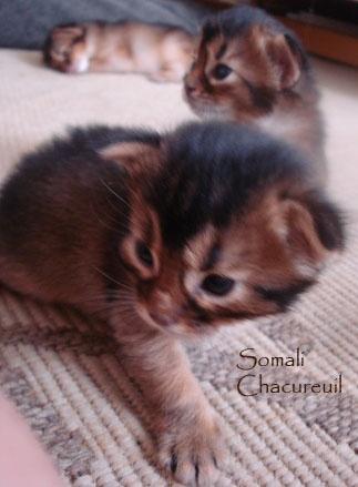 chaton Somali de Chacureuil
