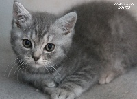 SPECTRE - British Shorthair et Longhair