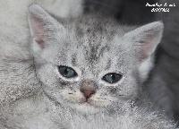 SKYFALL - British Shorthair et Longhair
