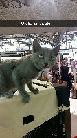 du temple d'Hamarkhis - Chaton disponible  - Chartreux